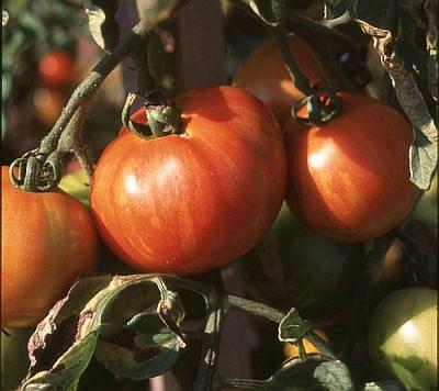 Tomaten - Sorten, Anbau, Gesundheit, Rezepte